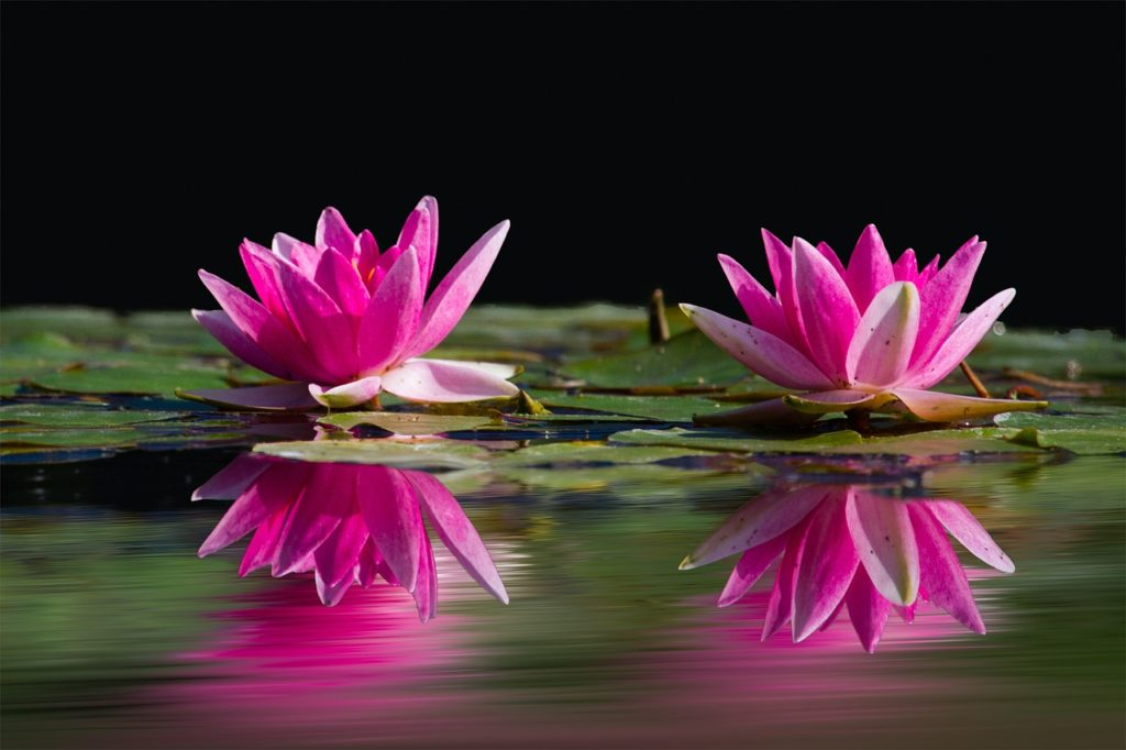 floating water lilies