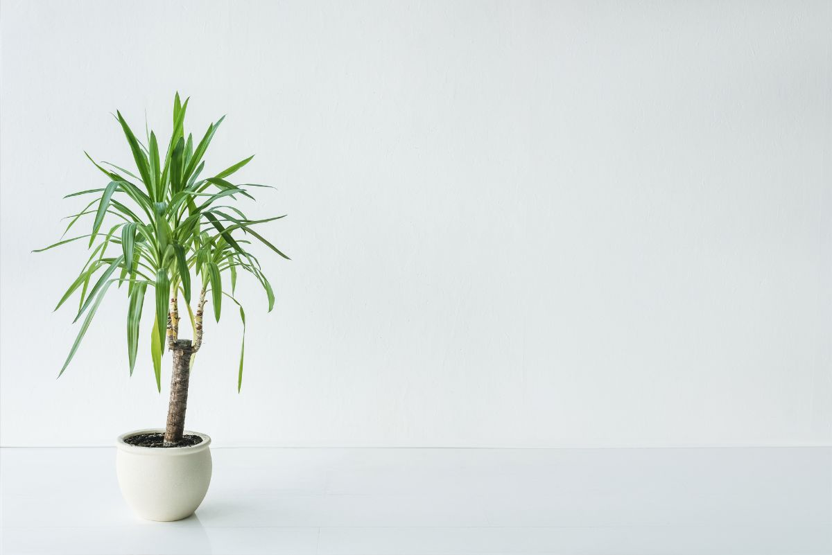 Palm with green leaves in pot on gray background, minimalist concept