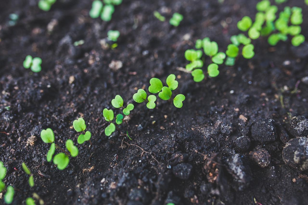 rucola plants