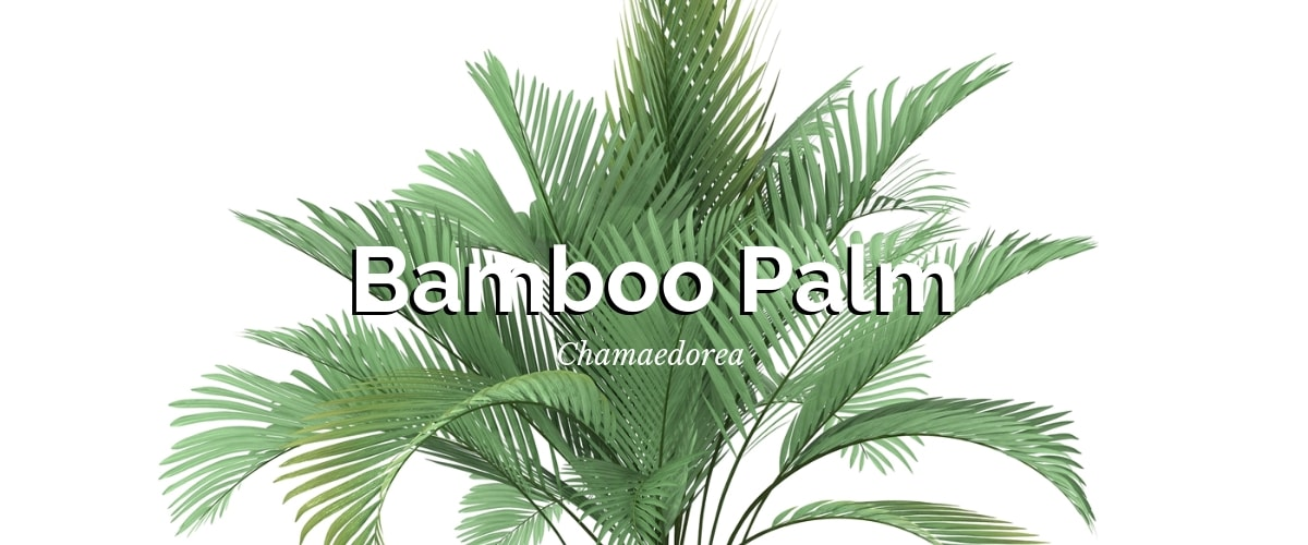 Bamboo palm (Chamaedorea)