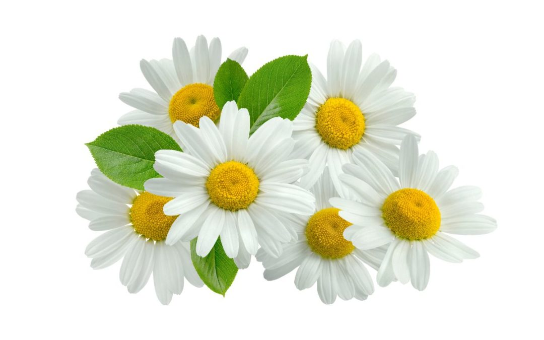 All About Chamomile and Its Benefits