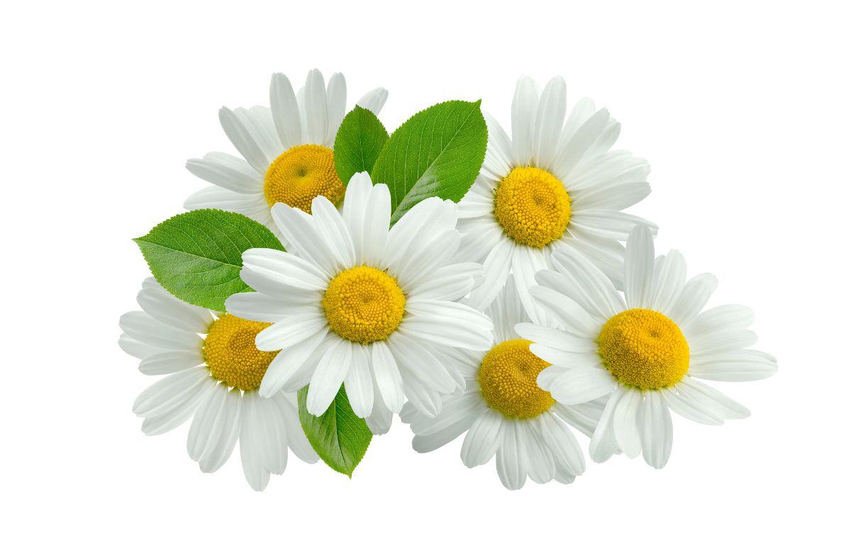 chamomile white background