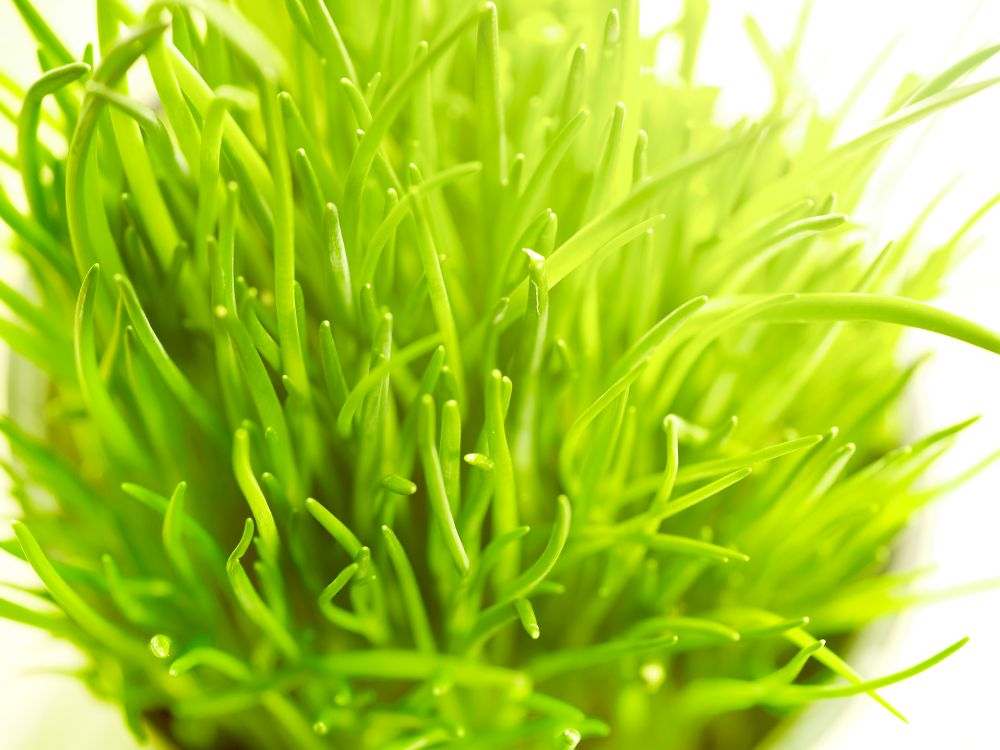 Fresh chives growing in pot