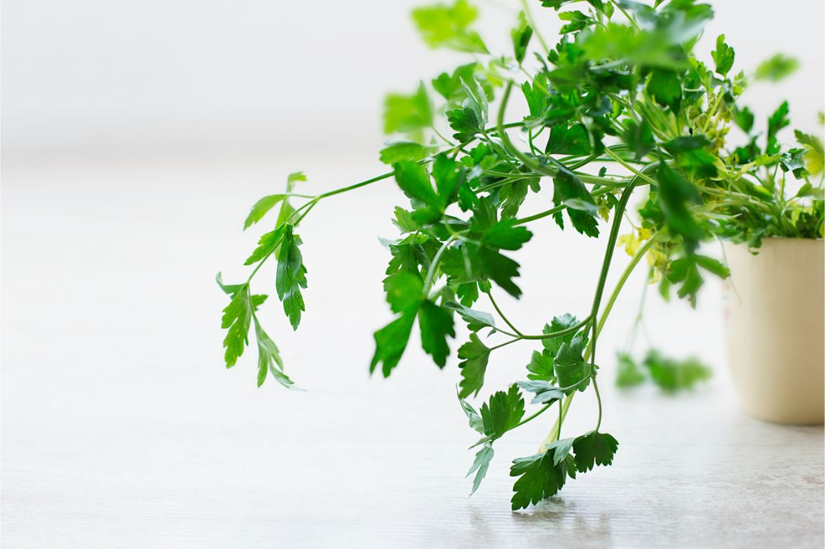 Parsley growing abundantly