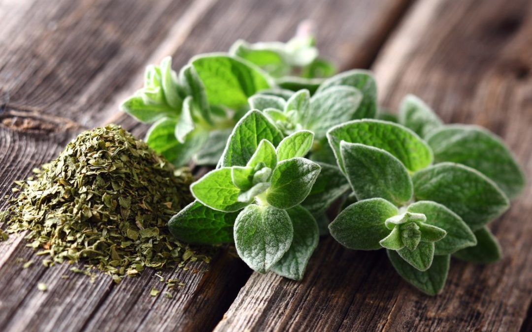 Oregano plant and spice
