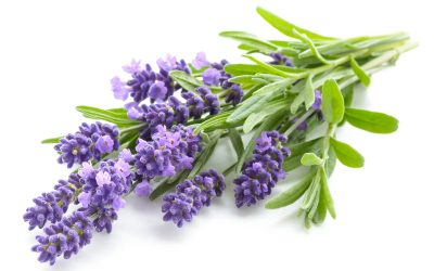 All About Lavender and Its Benefits