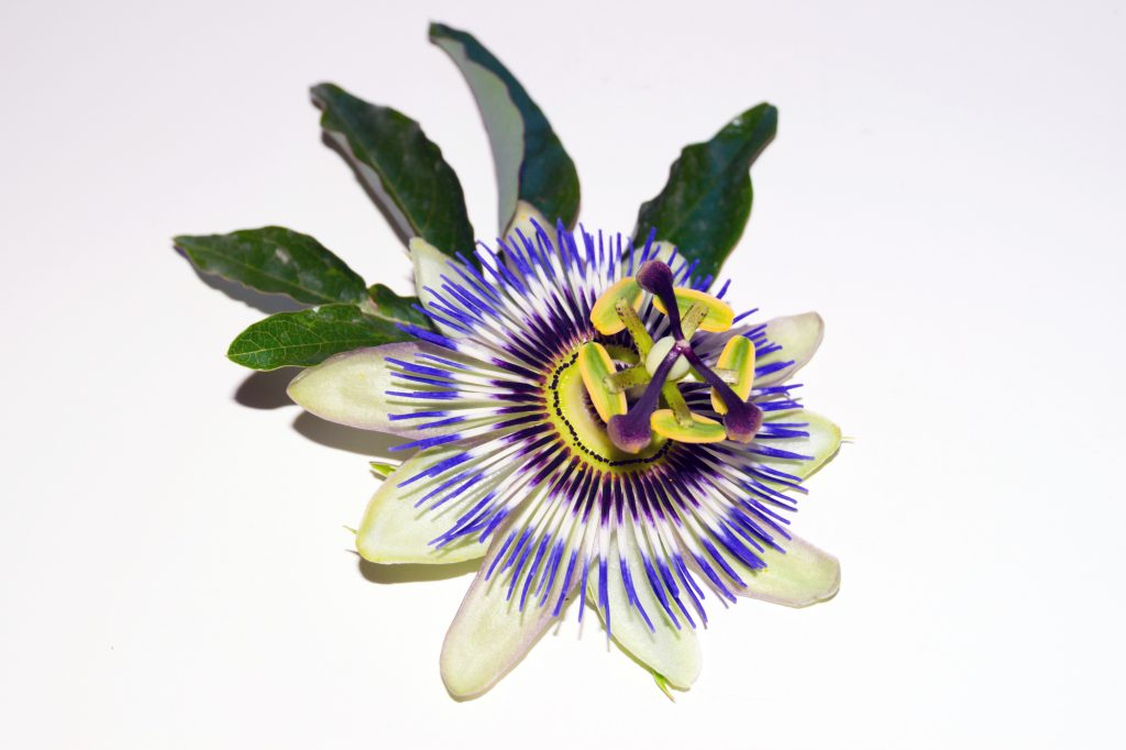 Closeup take of a passionflower opening to spring sunrays