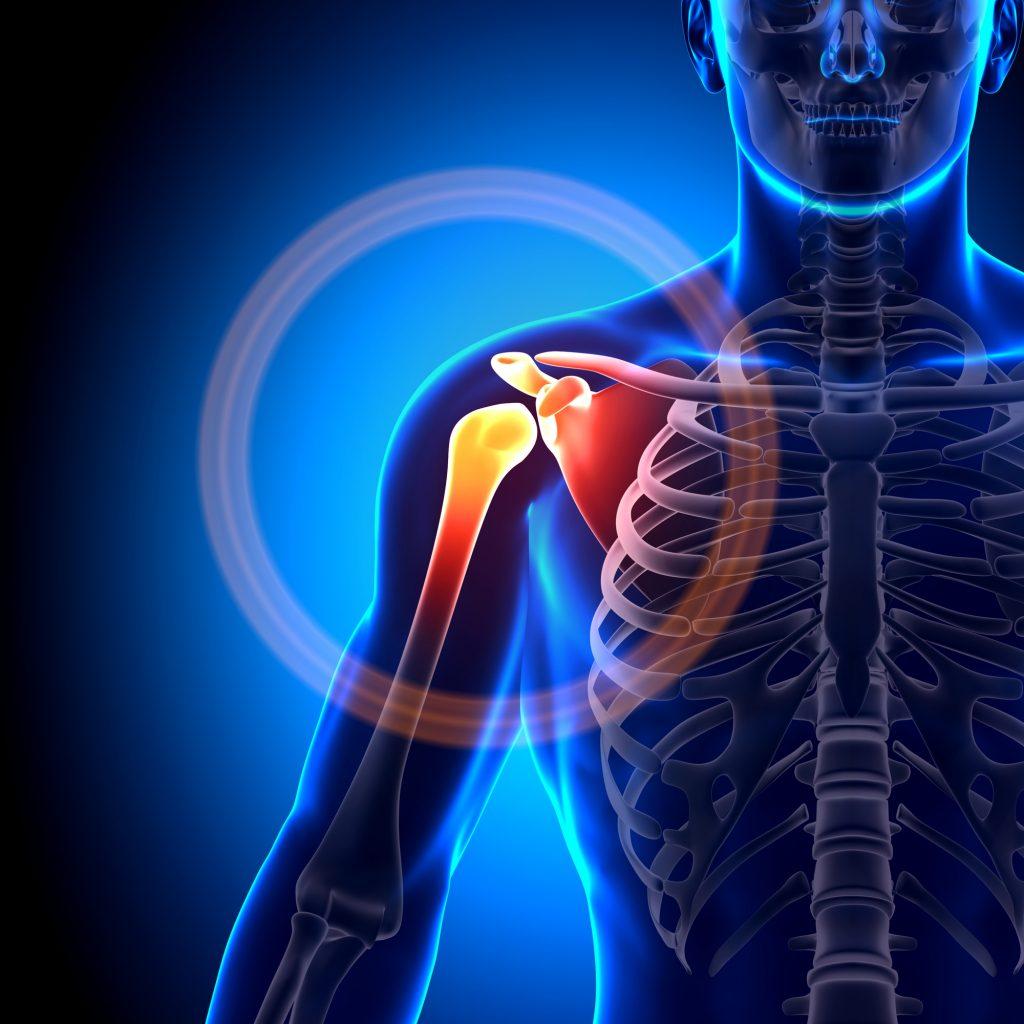 Shoulder Scapula Clavicle Anatomy