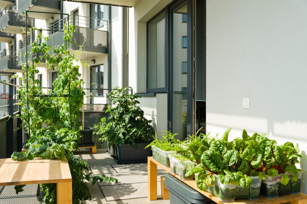 Urban balcony garden with chard, kangkung and other easy to grow vegetables.