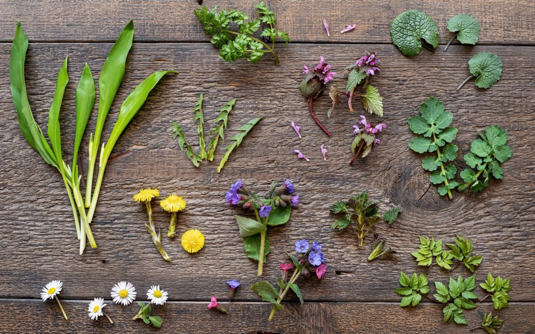 Wild garlic, lungwort, nettle, ground elder and other medicinal herbs and wild edible plants growing in early spring