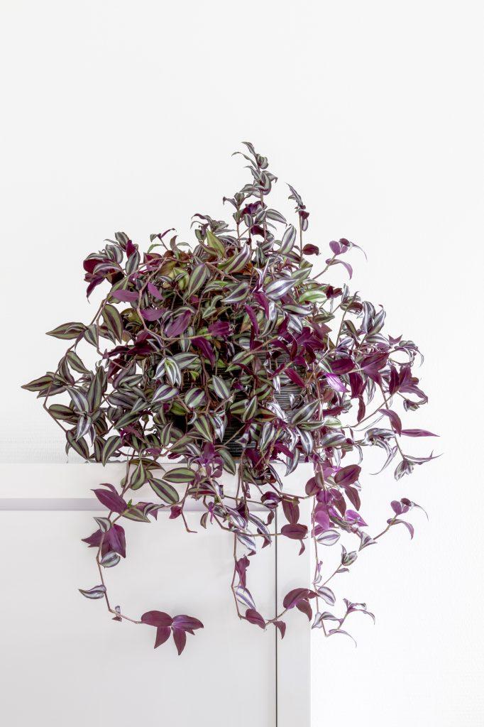 bushy wandering jew, Tradescantia zebrina, houseplant on a clean white background, copy space