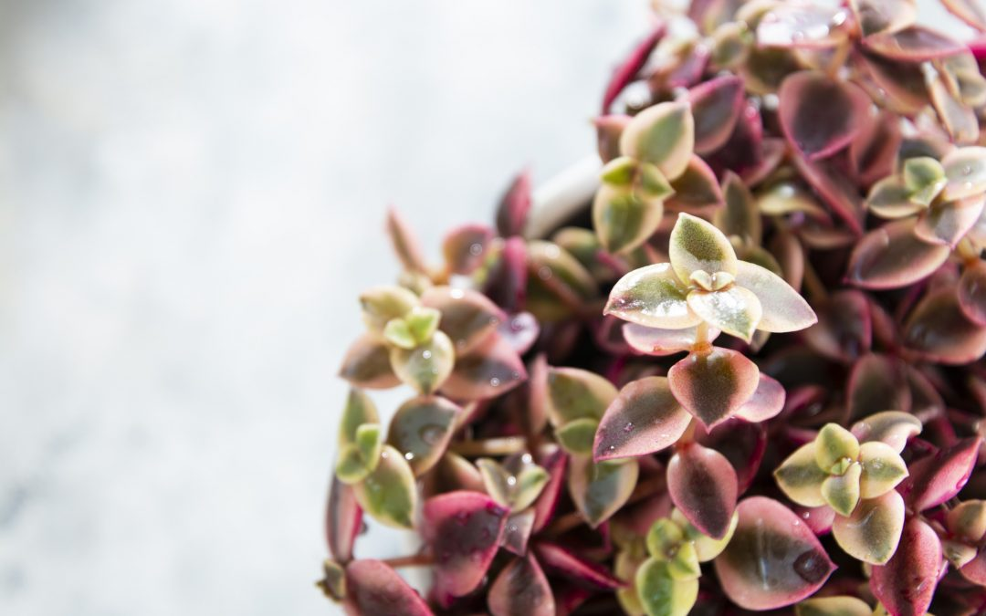 Crassula marginalis rubra variegata or Calico Kitten, a multi-colored succulent house plant.