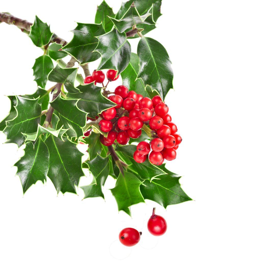 Sprig of European holly ilex christmas decoration